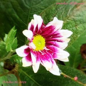 キク〜庭の花