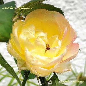 バラ リオサンバ〜庭の花