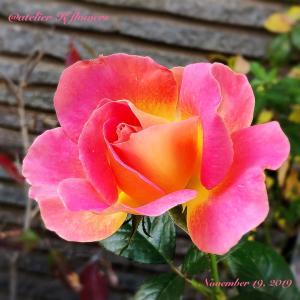 バラ ピンクパラダイス〜庭の花