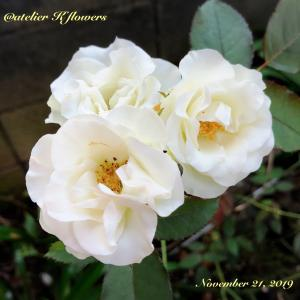 バラ 緑光〜庭の花と秋の空