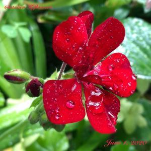 ゼラニウム〜庭の花