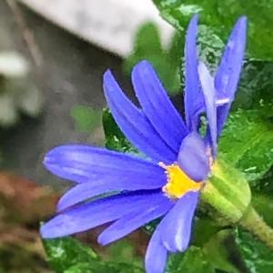 ブルーデージー〜庭の花