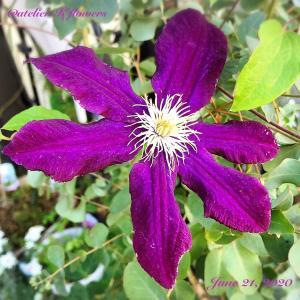 クレマチス〜庭の花