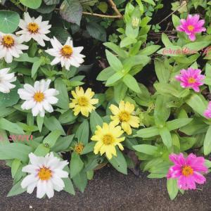 ジニア〜庭の花