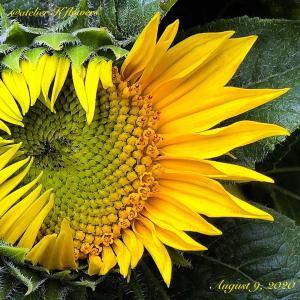 ひまわり〜庭の花