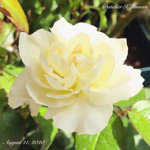 バラ ボレロ〜庭の花
