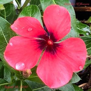 日々草〜庭の花