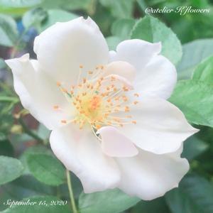 一目惚れしてしまったバラ〜庭の花