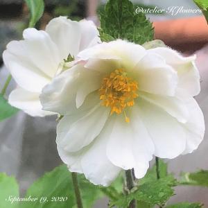 アネモネ ドリーミングスワン〜庭の花