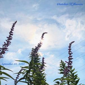 アメジストセージ〜庭の花