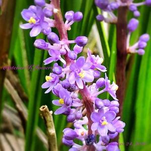 ヤブラン〜庭の花