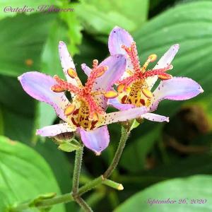 ホトトギス〜庭の花