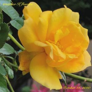 バラ サハラ'98〜庭の花