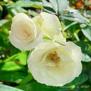 バラ 緑光〜庭の花