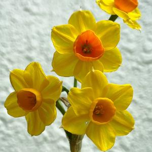 水仙〜庭の花