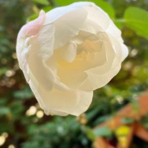 バラ アイスバーグ 〜庭の花