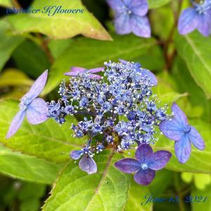 ガクアジサイ〜庭の花