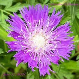 ストケシア〜庭の花