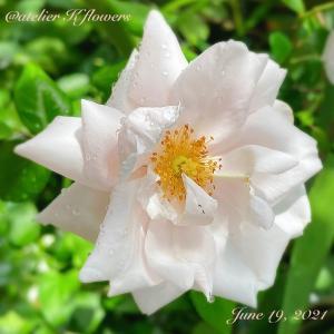 バラ ニュードーン〜庭の花