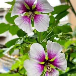 ラバテラ〜庭の花