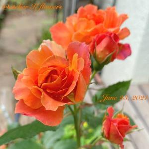 バラ ディズニーランドローズ〜庭の花