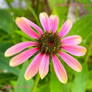 エキナセア〜庭の花