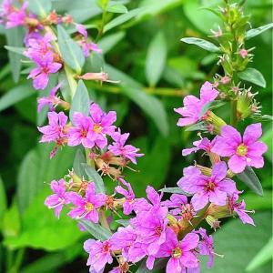 禊萩〜庭の花