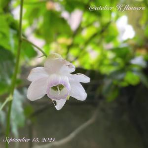 レンゲショウマ〜庭の花
