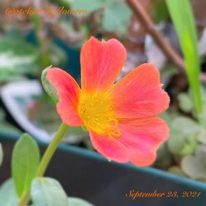 ポーチュラカ〜庭の花