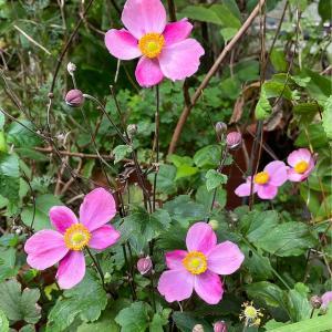 秋明菊〜庭の花
