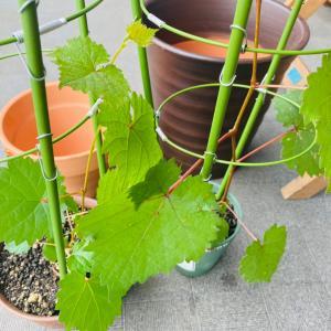 葡萄の植え替えと講演会拝聴