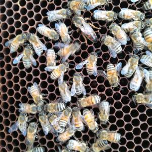 第一養蜂場の内検その2