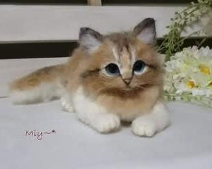 長毛猫ちゃん♪生まれました(^^♪