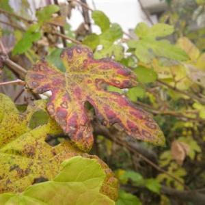 この葉っぱ、これ以上は色づかない様子です