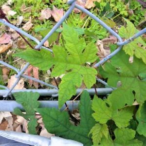 キレハノブドウの葉を見に行ってきました