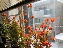 短日植物。