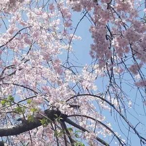 """感度高いカラダの受信機★★【過去】""""桜は美しいピンク色、。滞った肌はダーク色。"""""""