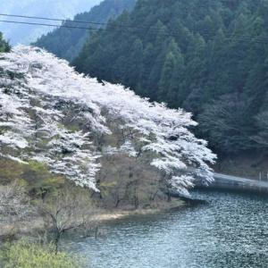 錫杖湖の桜