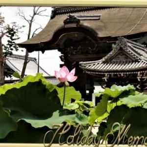 高田本山の蓮の花