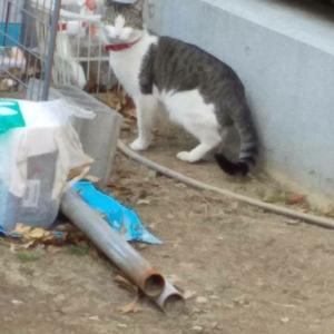 飼い主さんしりませんか? 川崎市 迷子猫 赤い首輪です。