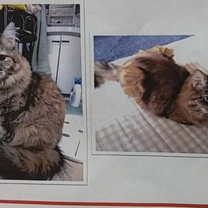 拡散お願いします。川崎市幸区 迷子猫ちゃん