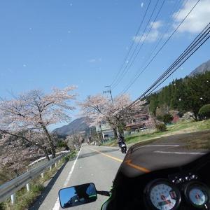 今年2回目の桜ツーリング♪(●´ω`●)