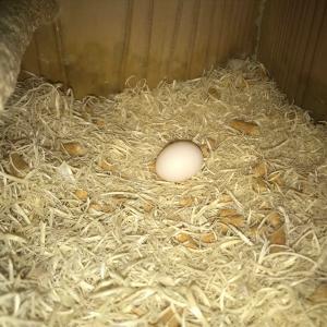オカメPopo産卵1個目、アキクサPan3個目