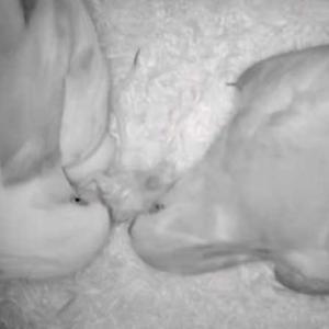 オカメのアルファが孵化