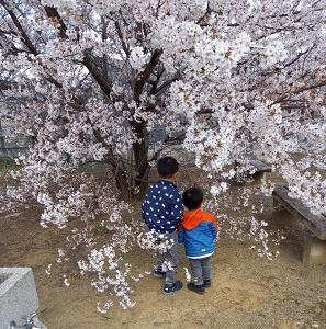 お花見→桜の観察→押し花作り ♡ 4歳・1歳