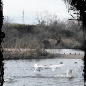 白鳥の飛翔 ・ そして・
