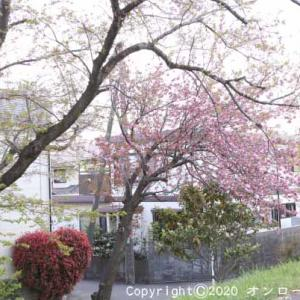 【MTB】多摩川サイクリングロード右岸~左岸の葉桜ライド!  [今日は成田空港開港記念日]