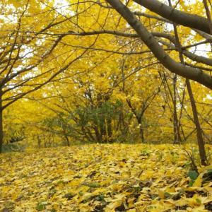 黄金色の絨毯!今が見頃のイチョウ園へ【垂水千本イチョウ】