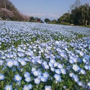 満開のネモフィラ!爽やかなブルーの花畑【慈眼寺公園】