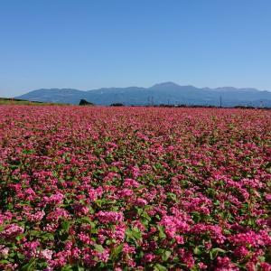鮮やかな赤ソバの花の絨毯を見るの巻【陵北ふれあい農園】